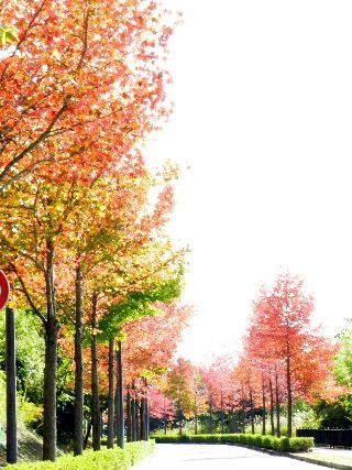 2015-10・31 紅葉の街路樹.JPG