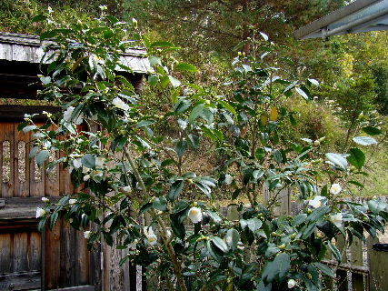 2015-11・21 我が家の庭で (3).JPG