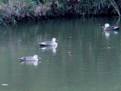 2015-11・24 今日の池には (2).JPG