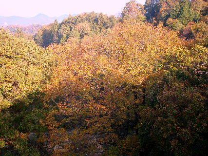 2015-11・30 小楢も落葉真っ盛り・・・.JPG