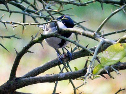 2016-03・29 里山の野鳥達・・・.JPG