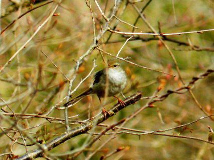 2016-03・30 里山の野鳥達・・・.JPG