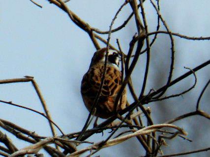 2016-03・31 里山の野鳥達・・・.JPG