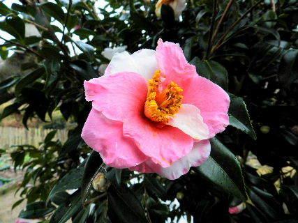 2017-01・22 我が家の庭で (1).JPG