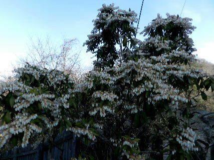 2017-03・12 我が家の庭で・・・ (1).JPG