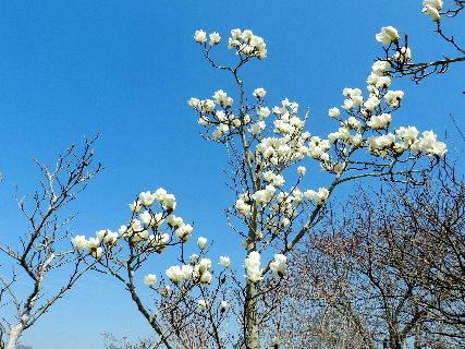 2017-04・04 里山を彩る春の花達 (4).JPG