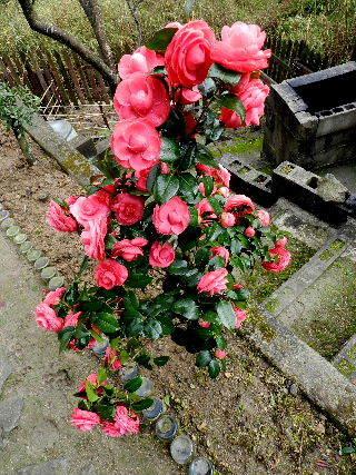 2017-04・12 我が家の庭で・・・ (3).JPG