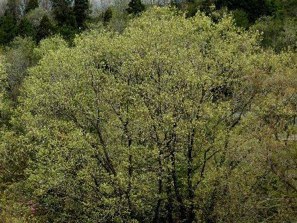 2017-04・17 里山は新緑の季節に・・・.JPG