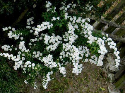 2017-05・07 我が家の庭で・・・ (1).JPG