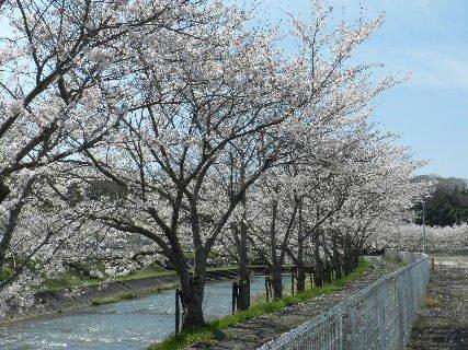 2015-04・04 我が町の桜模様 (3).JPG