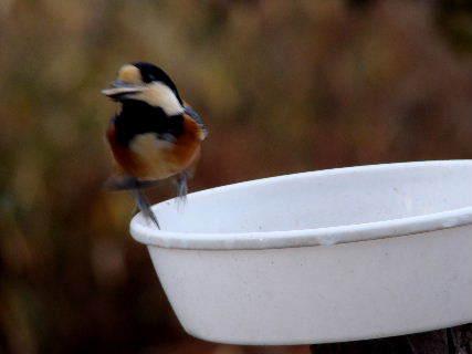 2016-02・07 里山の野鳥達・・・ (5).JPG