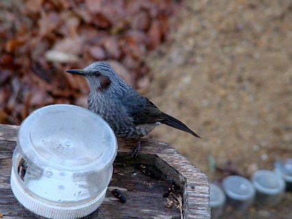 2016-02・09 里山の野鳥達・・・ (3).JPG