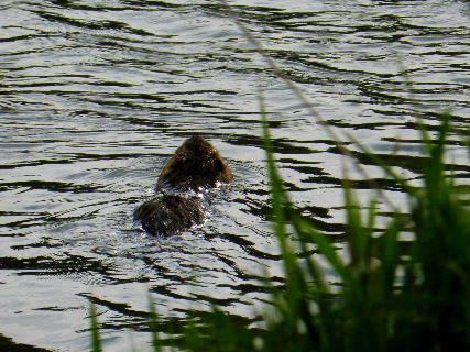 2016-04・24 今日の池には・・・ (3).JPG