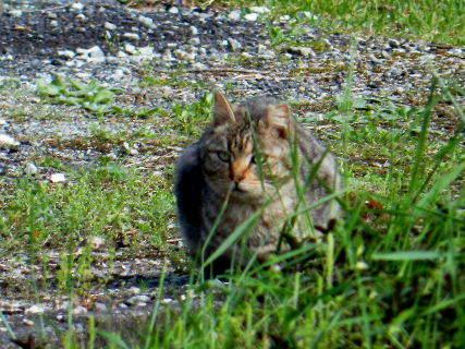 2016-04・29 里山の野良猫 (2).JPG