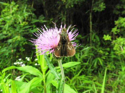 2016-06・20 里山も昆虫達の季節に・・・ (3).JPG