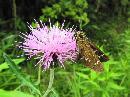 2016-06・20 里山も昆虫達の季節に・・・ (4).JPG