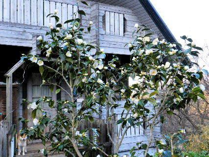 2016-12・23 我が家の庭で咲く白椿.JPG