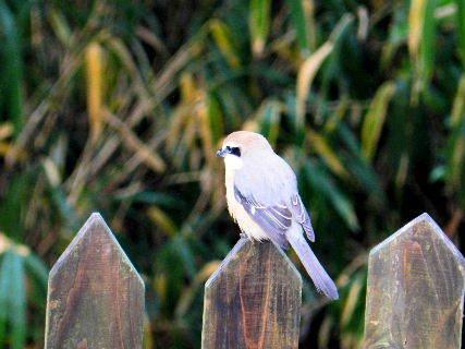 2017-01・09 里山の野鳥達・・・.JPG