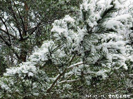 2017-01・15 樹木も雪化粧を・・・ (2).JPG