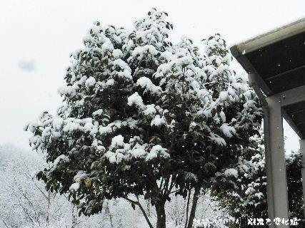 2017-01・16 雪化粧の樹木 (1).JPG