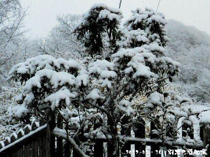 2017-01・16 雪化粧の樹木 (2).JPG