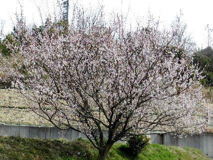 2017-03・23 里山の春告げ花・・・ (1).JPG