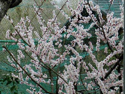 2017-03・23 里山の春告げ花・・・ (2).JPG