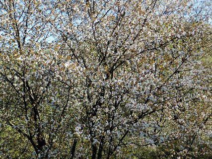 2017-04・19 里山の春を彩る花 (1).JPG