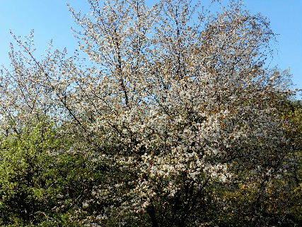 2017-04・19 里山の春を彩る花 (2).JPG