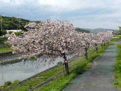2017-04・25 我が町の桜模様・・・ (1).JPG