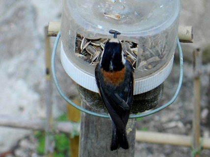2017-06・19 餌場を訪れる野鳥達 (4).JPG