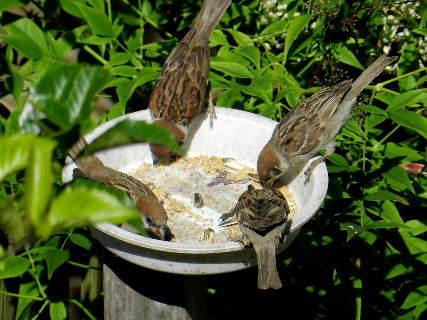 2017-06・19 餌場を訪れる野鳥達 (6).JPG