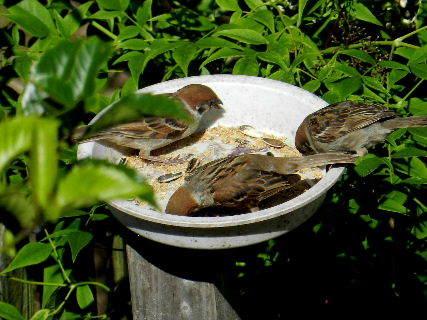 2017-06・19 餌場を訪れる野鳥達 (8).JPG